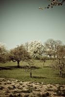 Germany, Bilfingen, Fruit trees in blossom