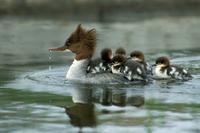 Goosander Mergus merganser with chicks