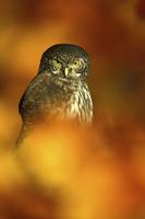 Sperlingskauz, Eurasian Pygmy-Owl Glaucidium passerinum