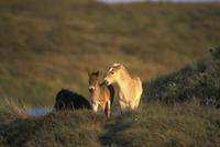 wild horses, Mustang