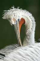 Dalmatian pelican, close-up