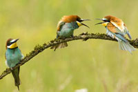 Bee-eaters sitting on branch