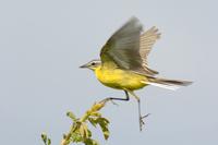 Yellow wagtail, motacilla flava