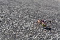 Africa, Namibia, Armored Cricket (Tettigoniidae), close-up