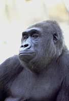 Gorilla, animal portrait