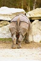 Rhinoceros, rear view