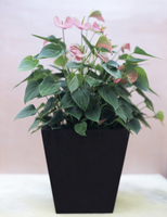 Anthuriums in flowerpot
