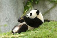 Panda (Ailuropoda melanoleuca) eating bamboo
