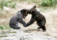 brown bears dancing