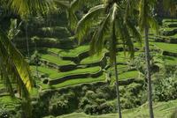 Indonesia, Bali, rice fields