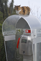 Italy, Stromboli, cat sitting on telephone box