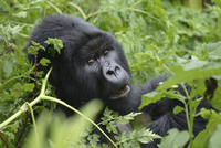 Virunga Mountains, Rwanda, Mountain Gorilla