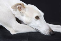 Close-up of Greyhound