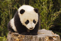 Baby Panda�CWolong National Nature Reserve