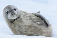 Weddell Seal�CAntarctica