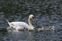 Mute Swan Mother and Cygnets