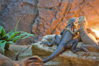 Two Lizards Sitting Together on a Rock