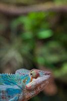 Portrait of Chameleon 20025295729| 写真素材・ストックフォト・画像・イラスト素材|アマナイメージズ