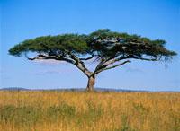 Acacia Tree,Serengeti National Park,Tanzania,Africa