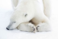 Polar Bear Sleeping,Churchill,Manitoba,Canada