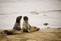 Two sea lions on the beach,California,USA
