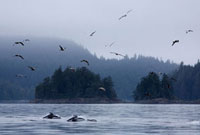 Pacific White Sided Dolphins in Johnstone Strait, British Co