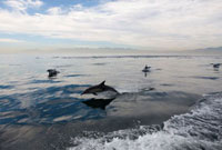 Dolphins, False Bay, Western Cape, South Africa