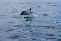 Dolphin Jumping out of Water, False Bay, Western Cape, South