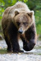 Brown Bear�CKatmai Peninsula�CAlaska�CUSA