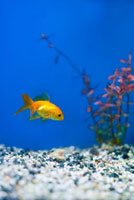 Gold Fish in Aquarium,Tampa Aquarium,Tampa,Florida,U