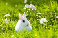 Young Dwarf Rabbit in Grass