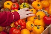 Close-up of Women's Hands Selecting Organic Heirloom Tomatoe