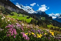 Wildflowers, Jungfrau Region, Bernese Alps, Switzerland