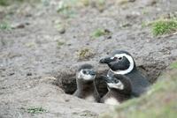 Magellanic Penguin Family in Nest, Saunders Island, Falkland