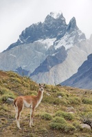 Baby Guanaco, Torres del Paine NationalPark, Magallanes and
