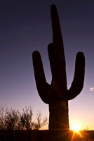 Giant Saguaro Cactus at Sunset, SaguaroNational Park, Arizon