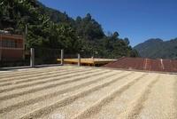Coffee Beans Drying on Plantation Patio, Finca Villaure, Hue