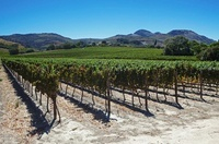 Vineyard, Grabouw, Western Cape, South Africa