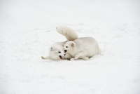 Arctic Foxes Playing Together, Triple DGame Farm, Whitefish,