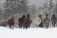Herd of Horses Running in Snow, Triple D Game Farm, Whitefis