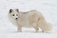 Arctic Fox, Triple D Game Farm, Whitefish, Montana, USA