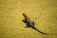 Mwanza Flat-headed Rock Agama Lizard