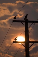 Hawk Perched on Telephone Pole at Sunset, Saskatchewan, Cana