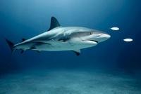Caribbean Reef Shark and Fish