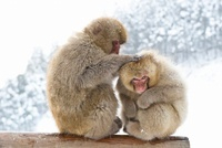 Japanese macaques, Jigokudani Monkey Park, Nagano, Japan.