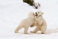 Polar Bear Cubs Playing, Wapusk National Park, Manitoba, Can