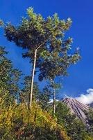 Santa Maria Volcano and Trees, Quezaltenango, Guatemala