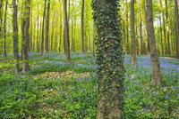 Ivy Covered Tree in Beech Forest, Hallerbos, Halle, Belgium