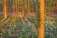 Beech Forest with Ivy and Bluebells, Hallerbos, Halle, Belgium