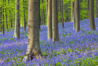 Bluebells in Beech Forest, Hallerbos, Halle, Belgium